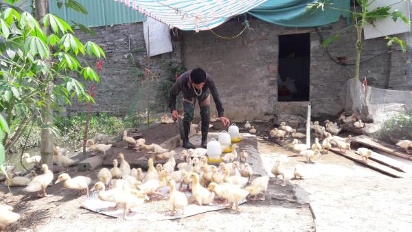 Anh Bùi Văn Tuyên chăm đàn ngan được đầu tư chăn nuôi từ nguồn vốn theo Quyết định 29/2014/QĐ-TTg